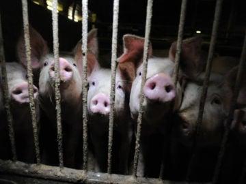 Greenpeace denuncia la situación en la que viven los cerdos en macrogranjas