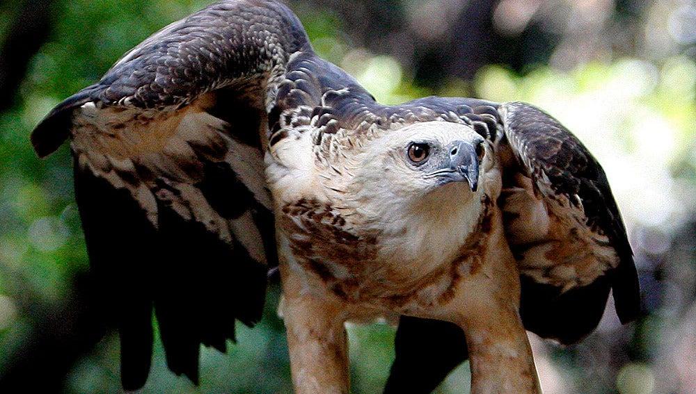 Ejemplar de águila azor