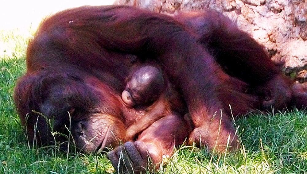 Nace el primer orangután borneo