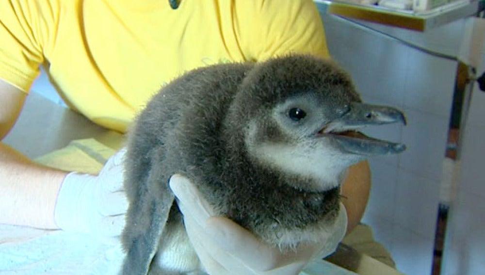 Cría de pingüino magallánico