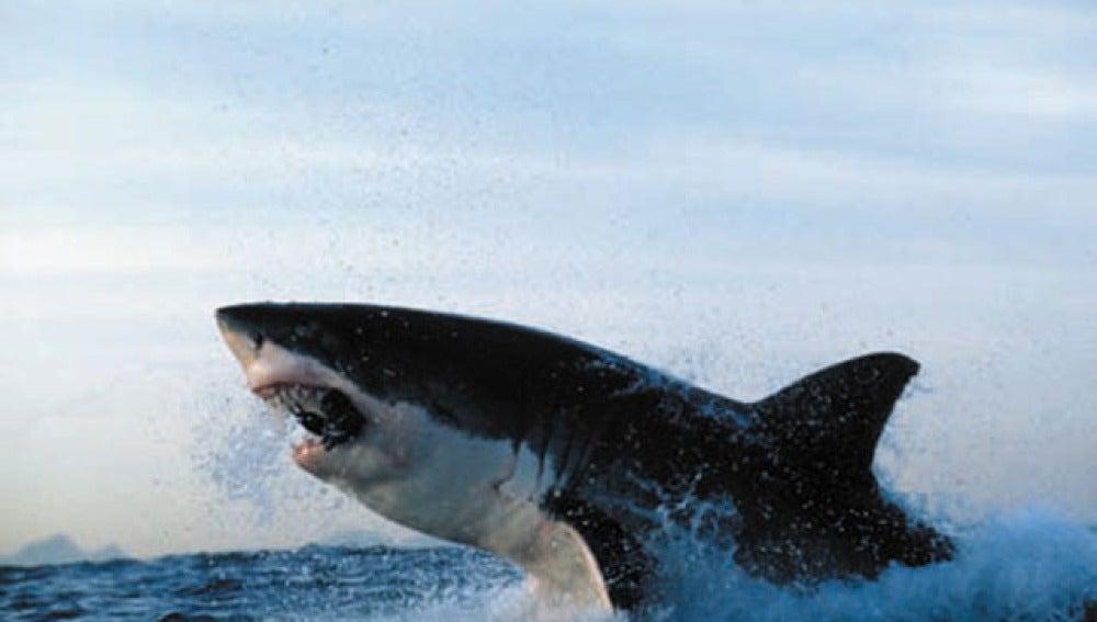 Un tiburón blanco salta sobre el agua