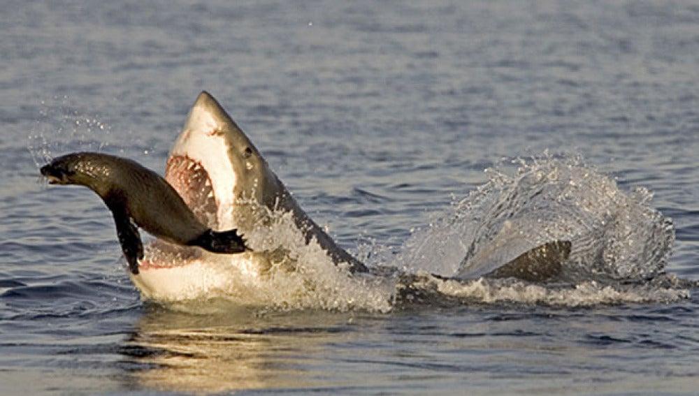 Un tiburón ataca a una joven foca