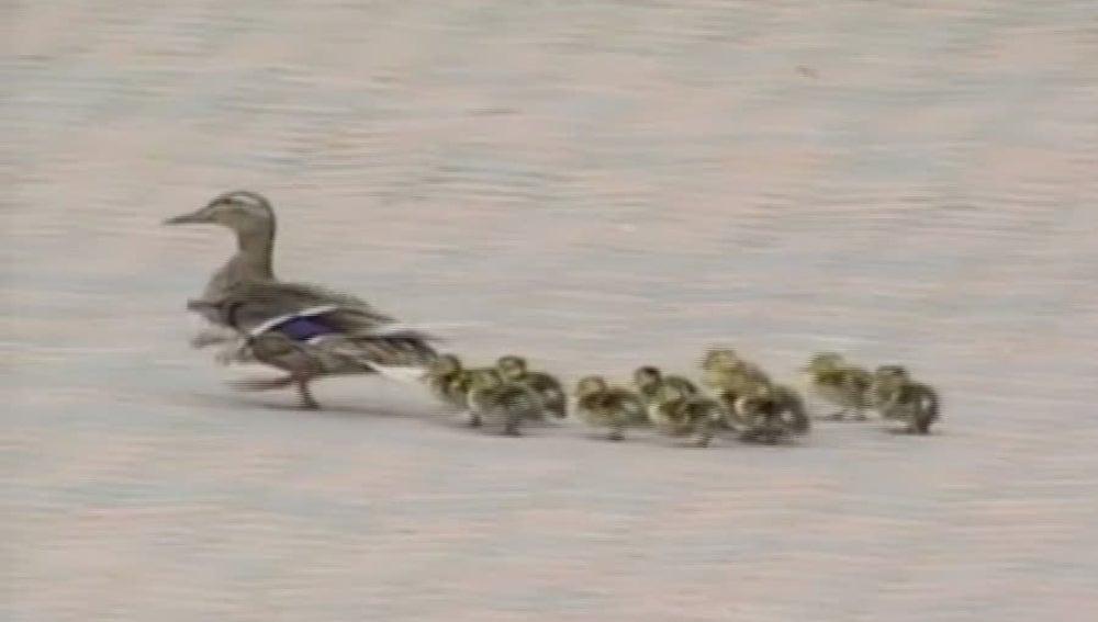 Una familia de patos