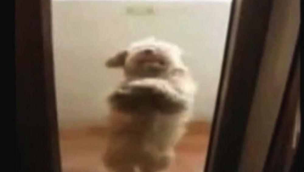 Perro que baila salsa