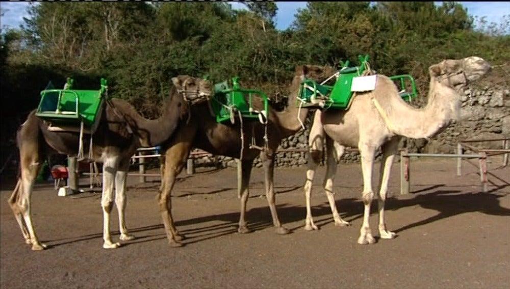 Camellos para la cabalgata real