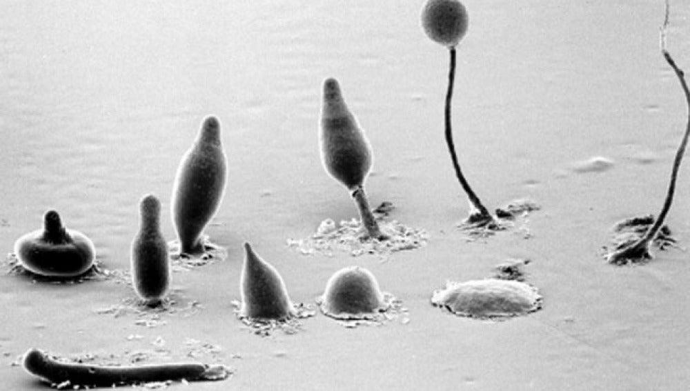 Descubren una especie de ameba que practica la agricultura