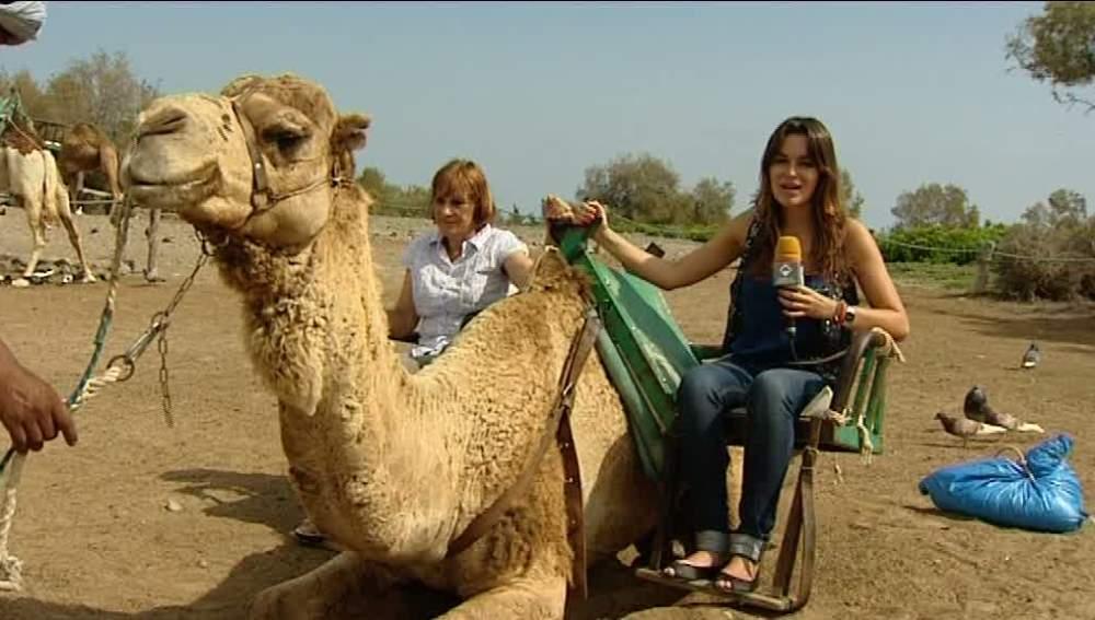 Camellos en Canarias