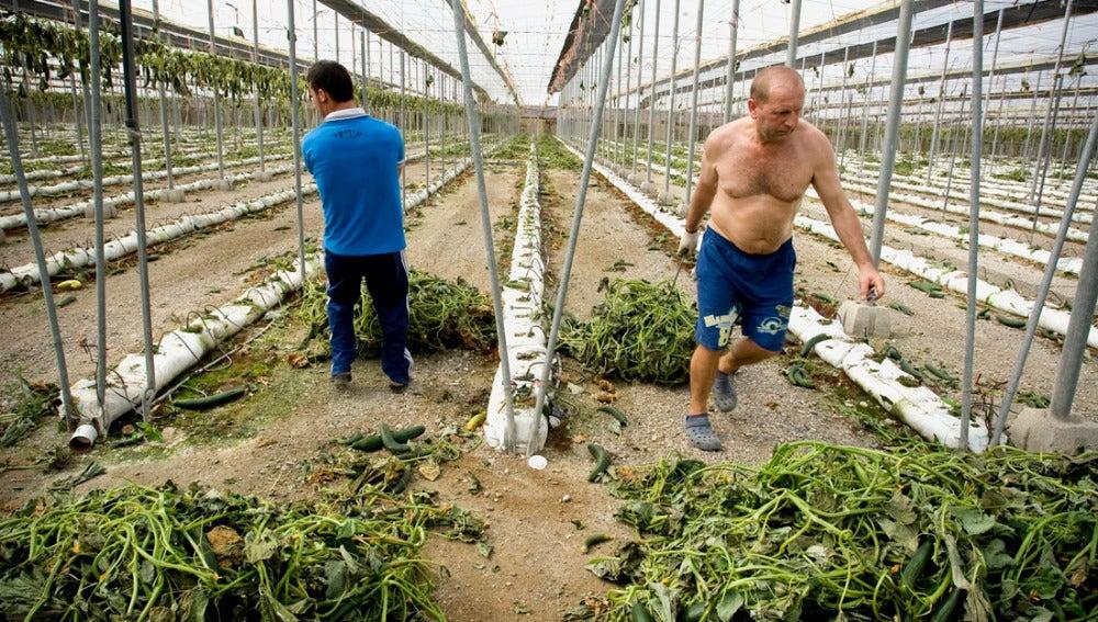 Trabajadores arrancan plantaciones de pepino de un invernadero en Las Norias (Almería)