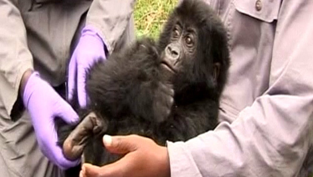 Rescatan a un bebé gorila capturado por furtivos