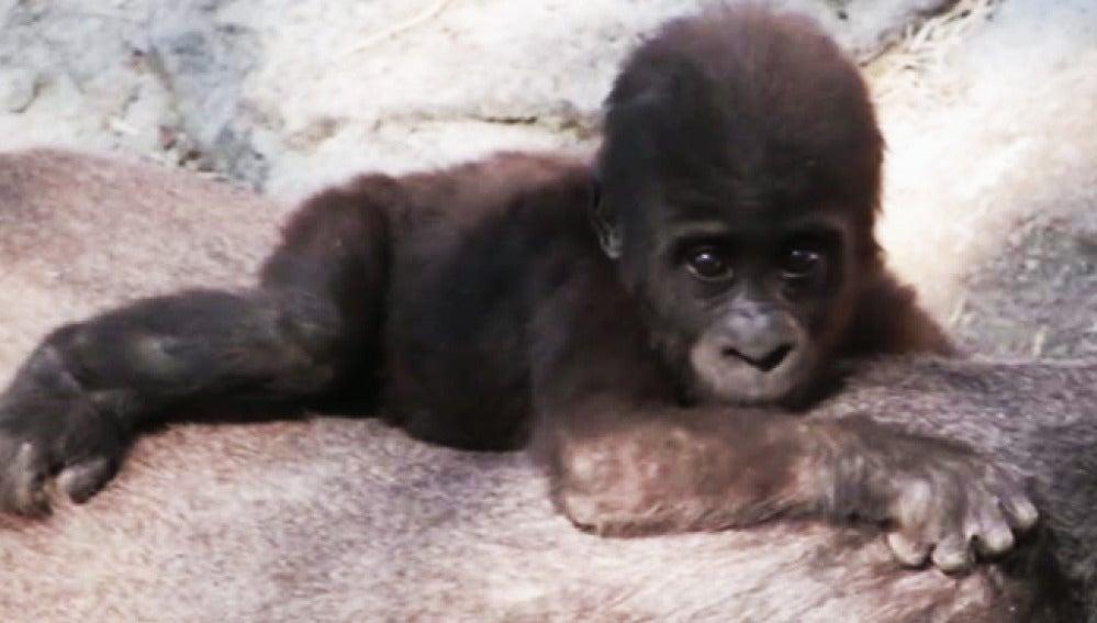 Nace una cría de gorila en el zoo de Madrid