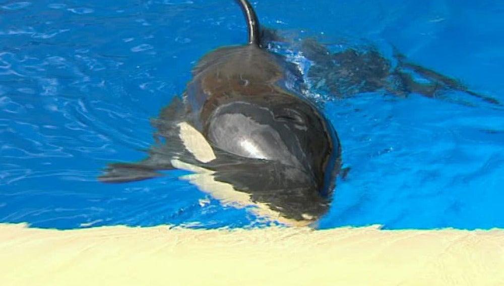 Científicos españoles tratan de descifrar el lenguaje de las orcas