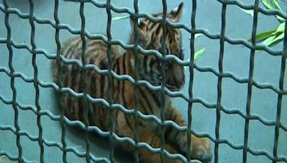 Nacen unos cachorros de tigre de Sumatra, una de las especies más raras del mundo