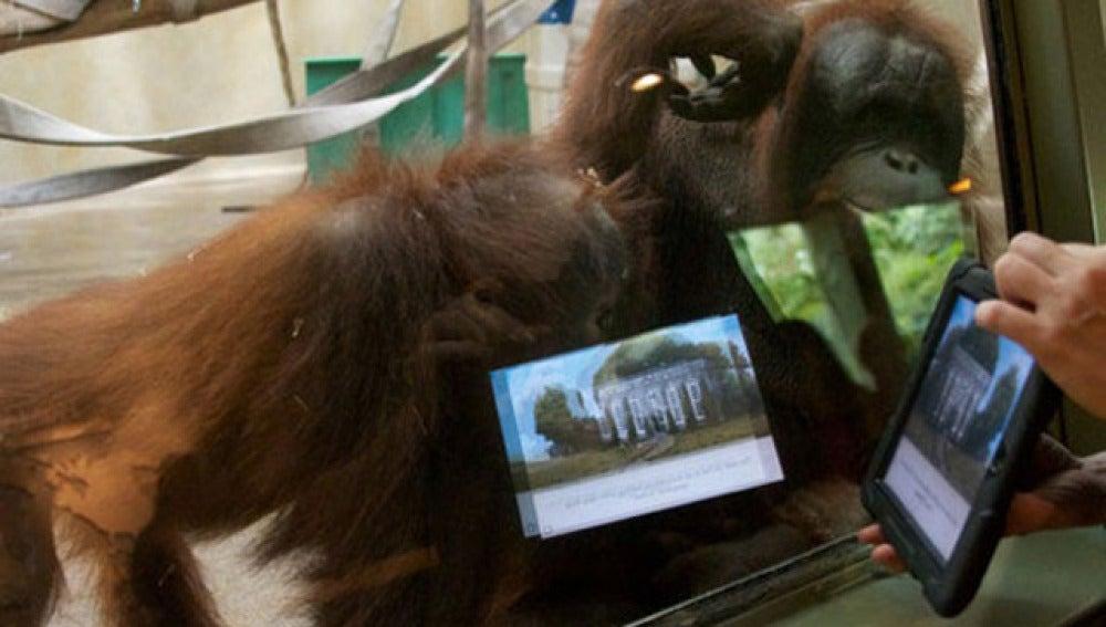 Orangutanes que usan iPads
