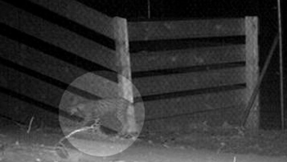 Primera imagen de un lince cruzando un ecoductos de Doñana
