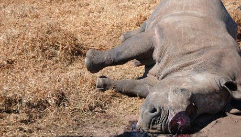 Fotos de rinocerontes muertos 7