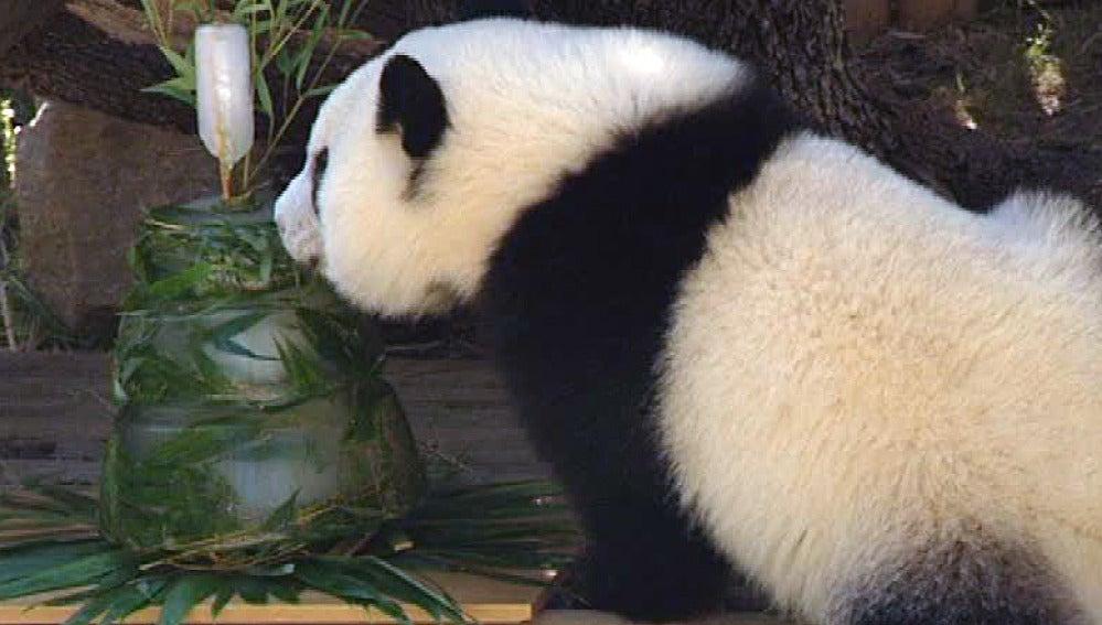 Uno de los osos panda cumple un año