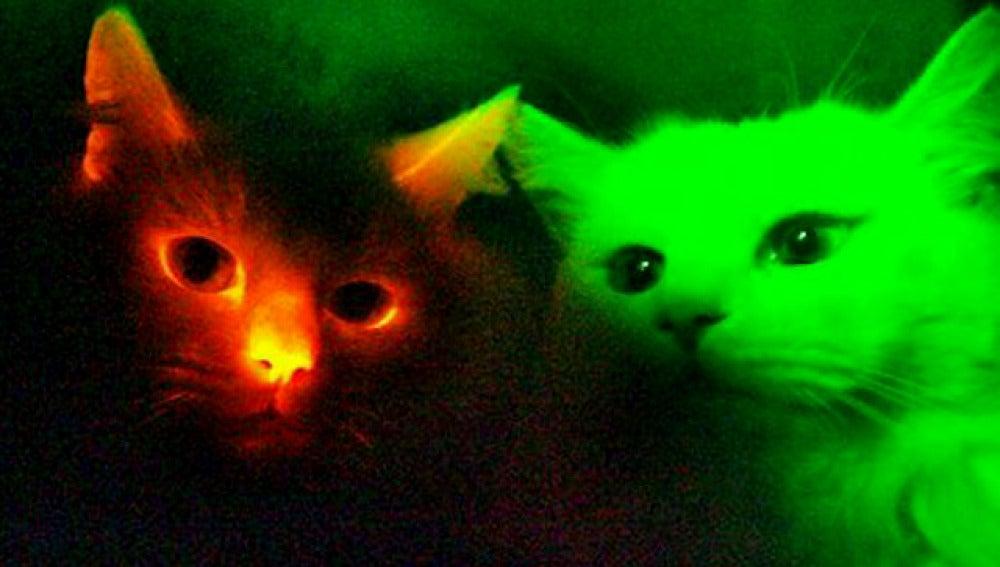 Gatos fluorescentes inmunes al SIDA