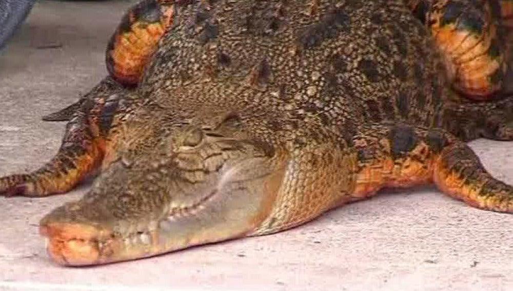 Un cocodrilo... ¡naranja!