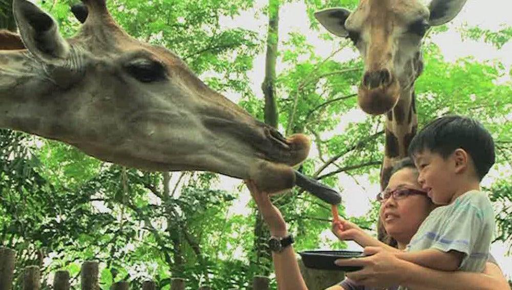 Un zoo sin jaulas y barrotes en Singapur