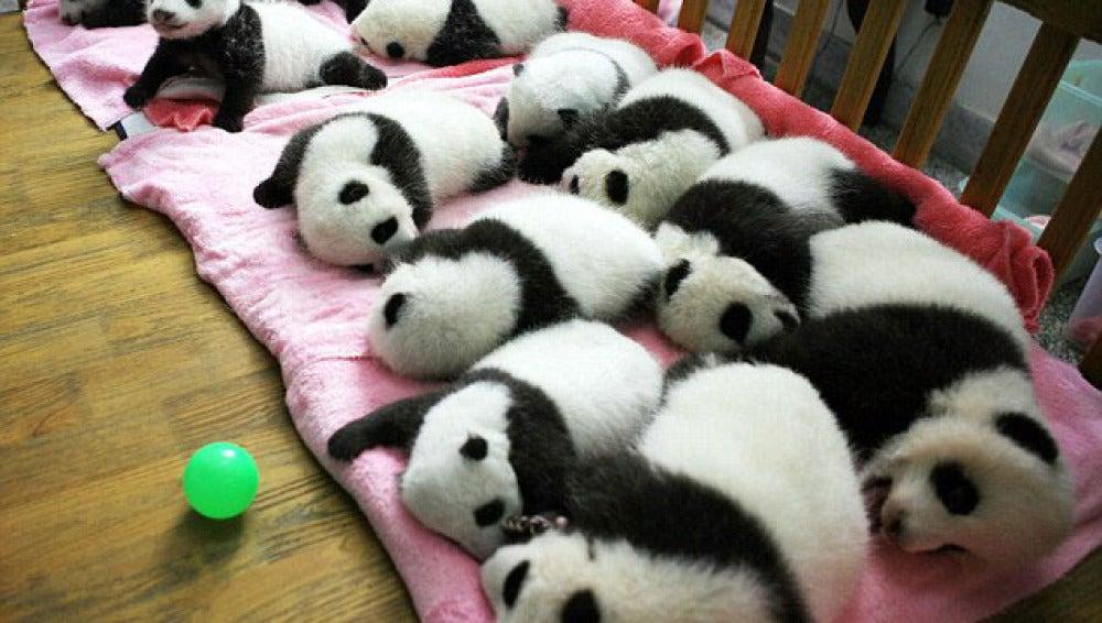 La siesta de los  panda (28-9-2011)
