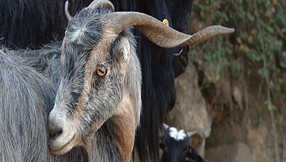 Las cabras perciben los temblores en El Hierro