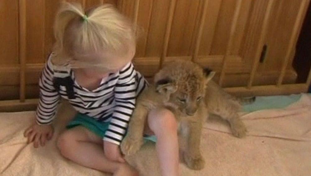 Una niña adopta un cachorro de león como mascota