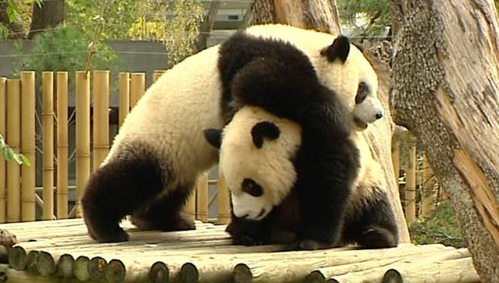 Los osos panda del Zoo de Madrid