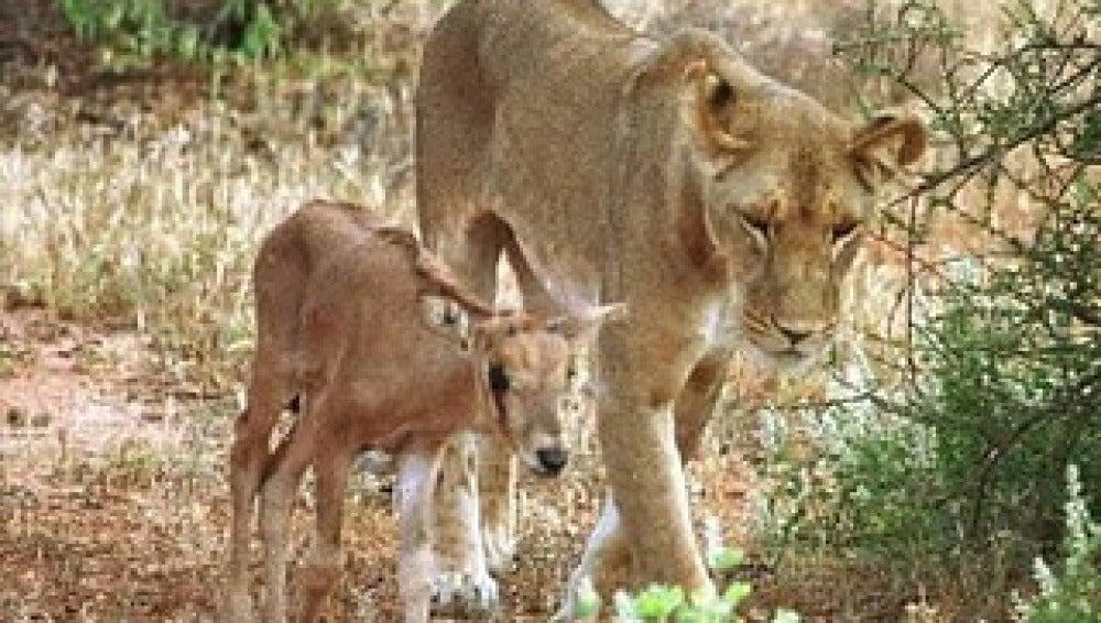 Una leona que adopta antílopes