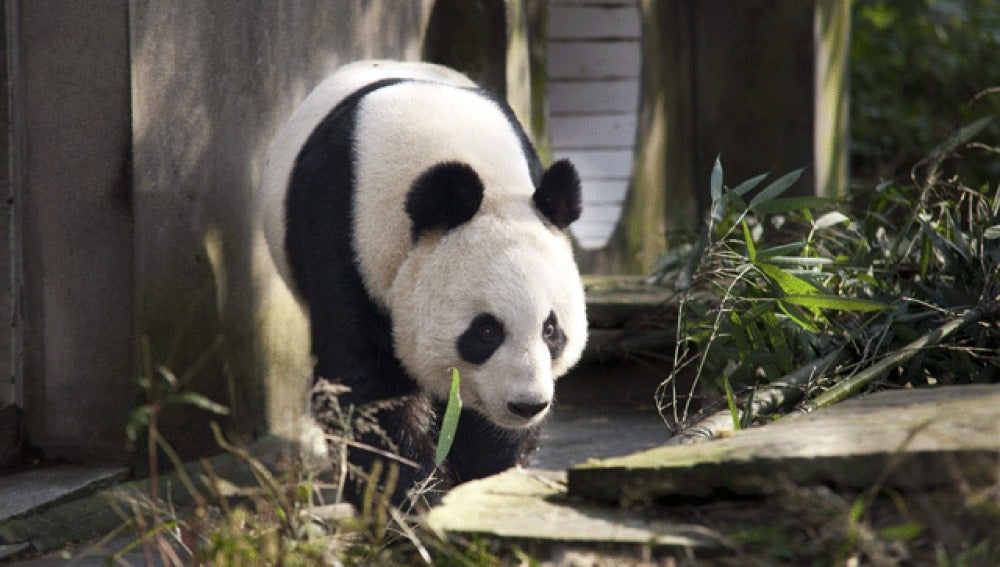 Osos panda en Edimburgo