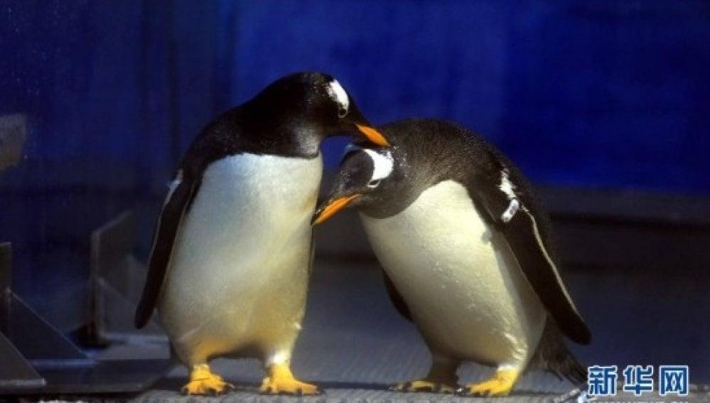 La pareja de pingüinos del zoo Harbin