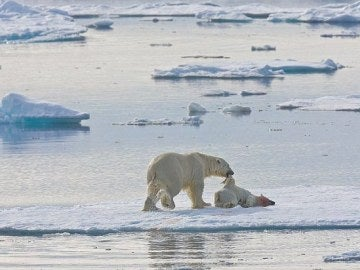 Oso polar comiéndose a otro oso
