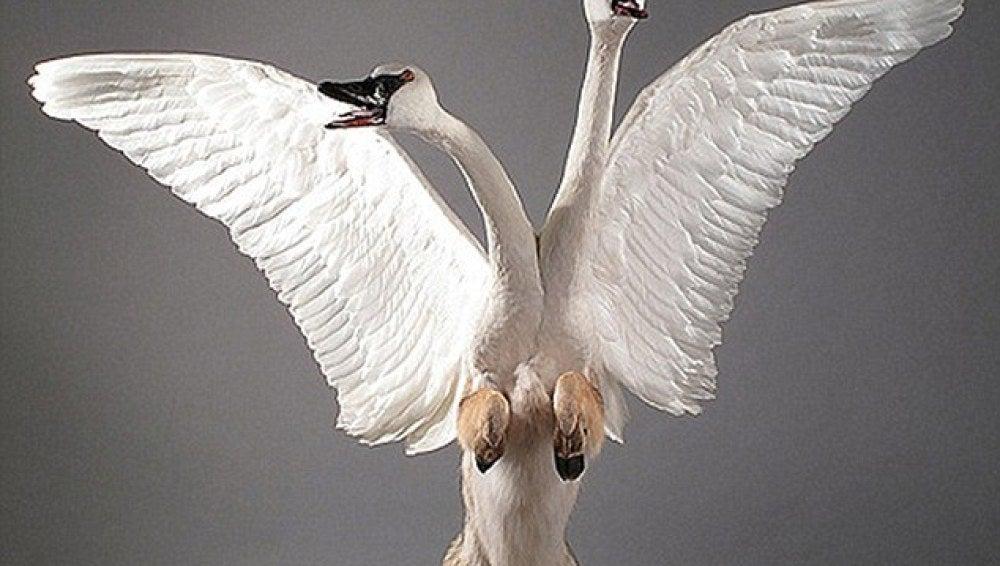 Un cisne de dos cabezas