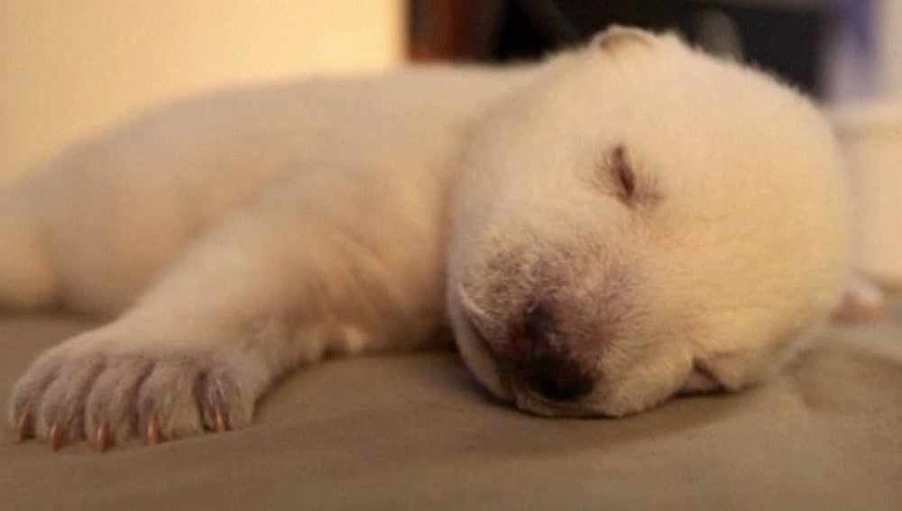 Siku, un bebe oso polar abandonado por su madre
