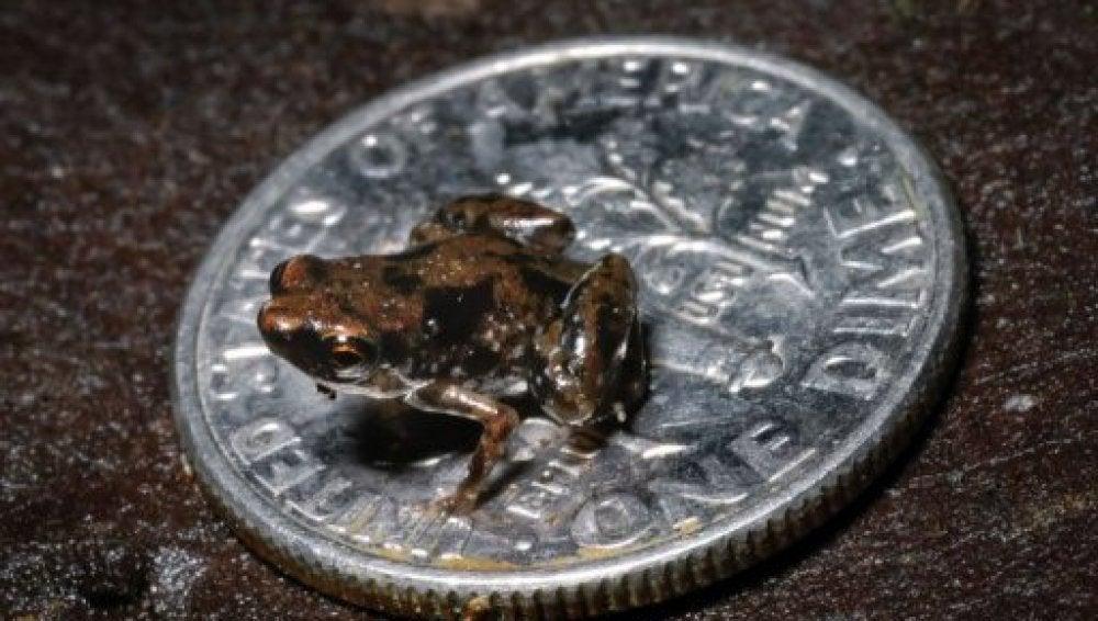 La rana más pequeña (14-01-2012)
