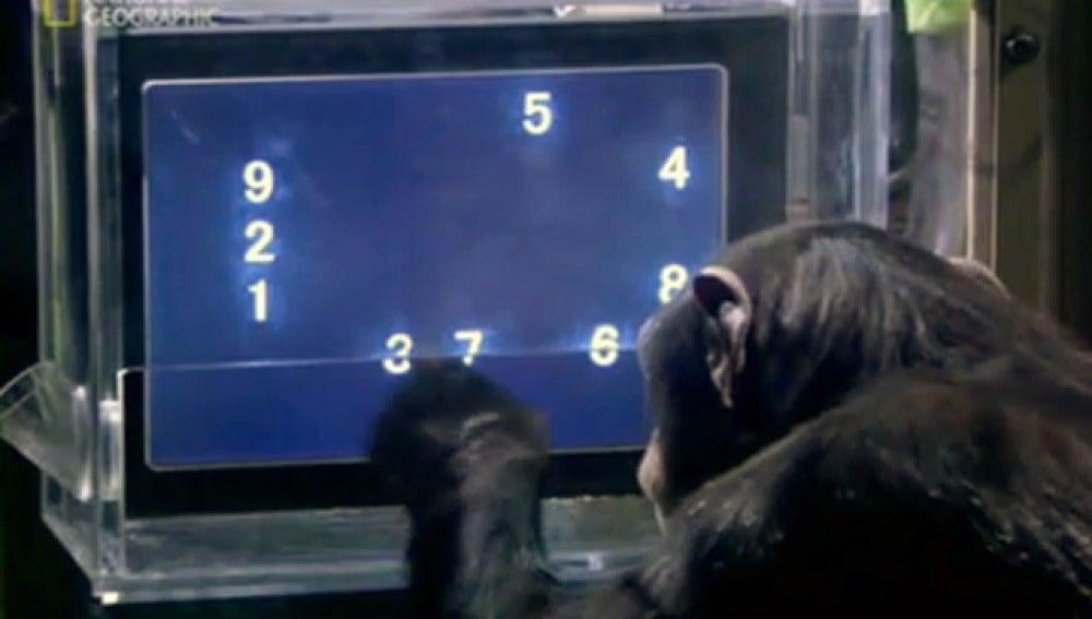 Un chimpacé resuelve tests de memoria en 60 milisegundos