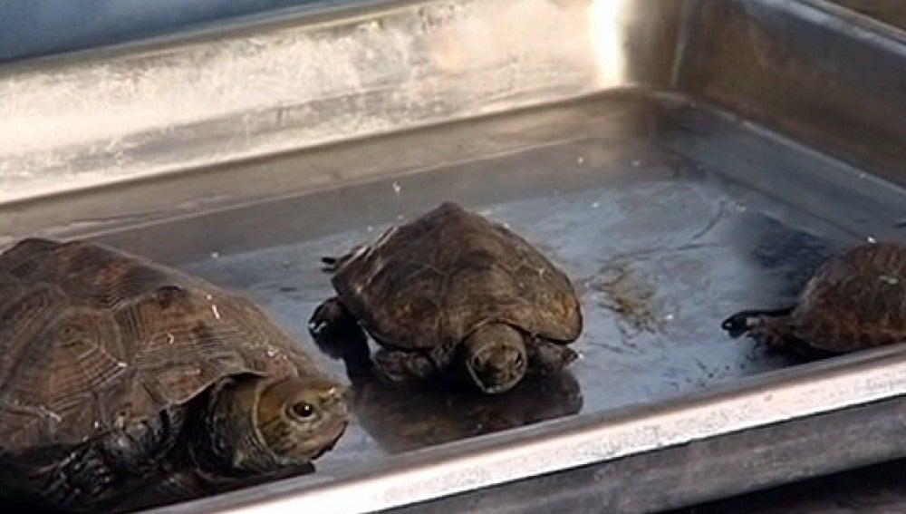 Las tortugas interceptadas en el aeropuerto de Shangai