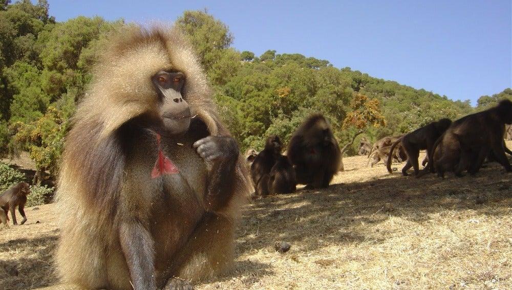 Geladas en Etiopia