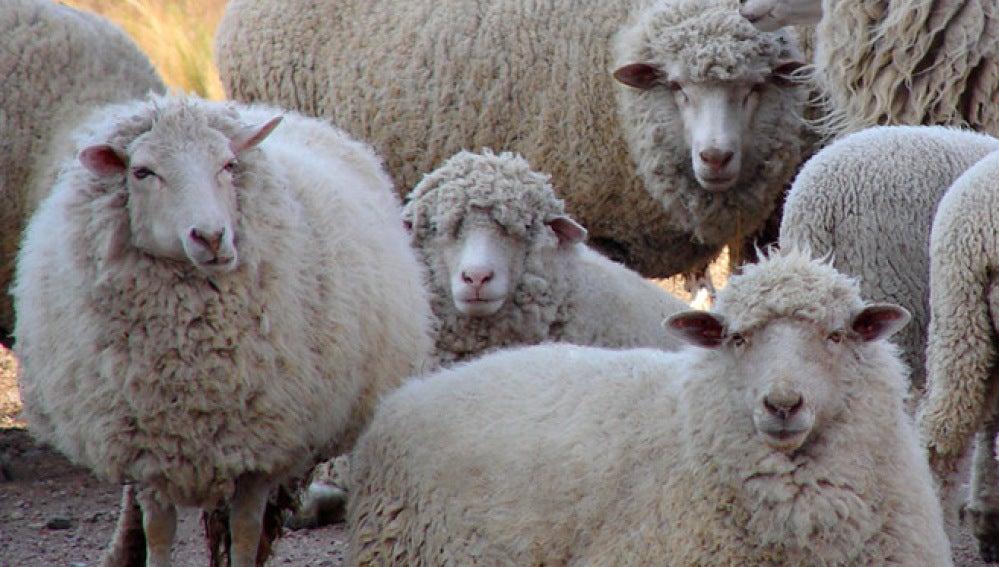 Un ganadero vallisoletano usa fotos de sementales para estimular a ovejas hembras