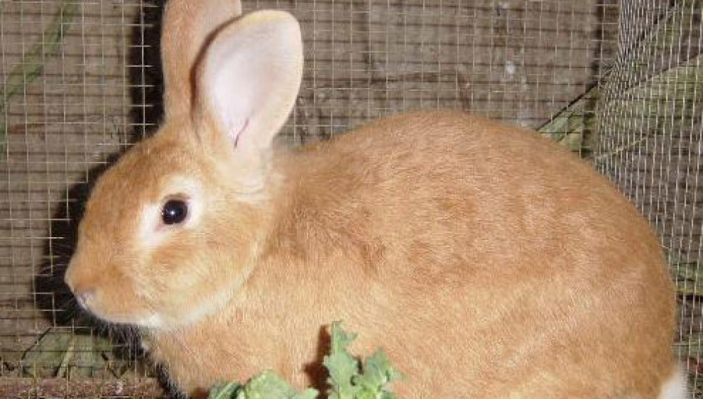 Un conejo común