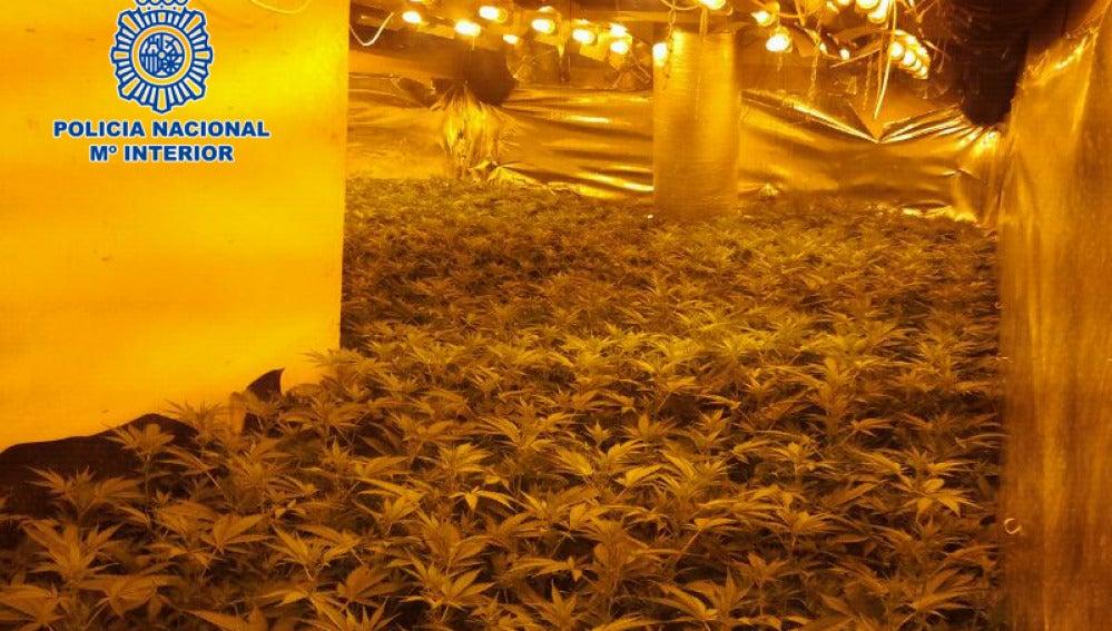 invernadero de marihuana(foto de archivo)