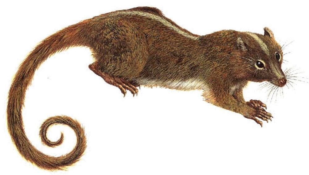 Mamíferos roedores multituberculados