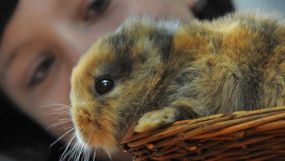 Til, el conejo sin orejas, fotografiado antes del accidente