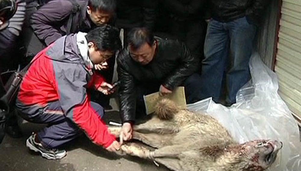 Miedo a los lobos en China