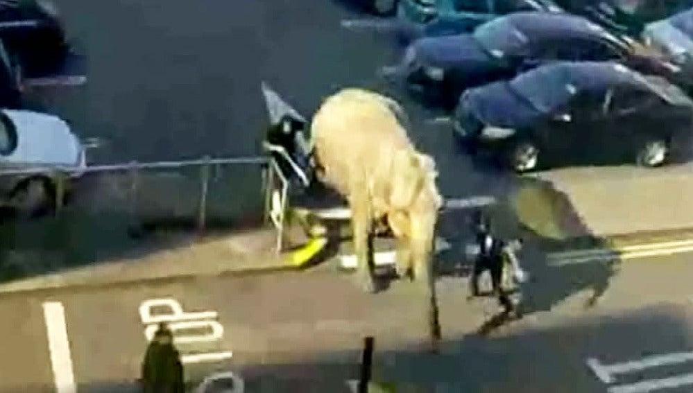 Un elefante se escapa de un circo Irlandés y se pasea por el centro de la ciudad