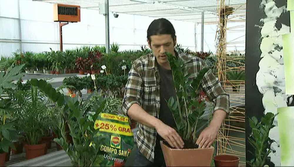 La Zamioculca  una planta resistente