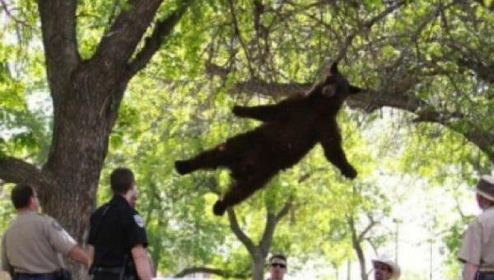 Caída del oso del árbol