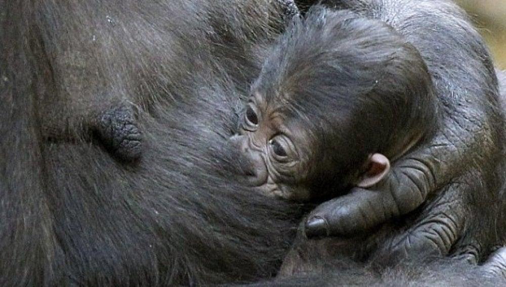 Imagen del bebé gorila en Cabárceno