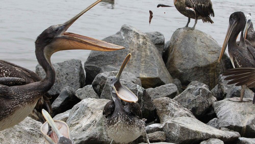 Pelícanos hambrientos en Lima, Perú