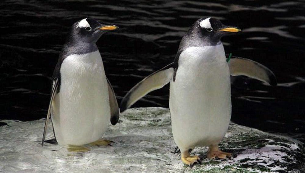 Dos pingüinos del Zoo de Madrid