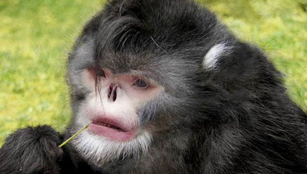 El mono birmano que estornuda